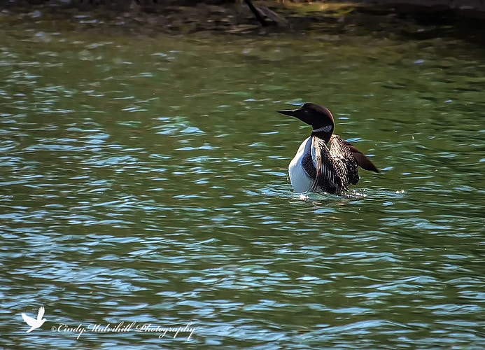 Loon Stretching_9308 - Cindy Mulvihill Photography