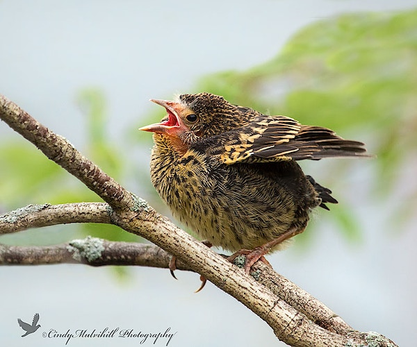 Red Winged Blackbird Chick_0543 - Cindy Mulvihill Photography