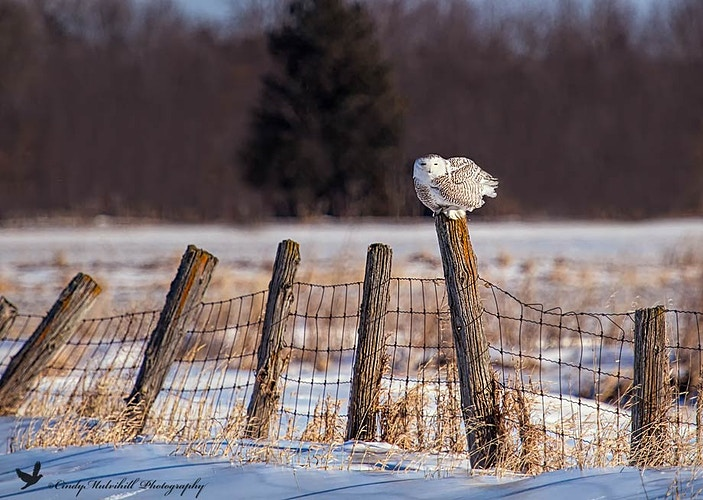 Snowy Owl on Fence Line_6307 - Cindy Mulvihill Photography
