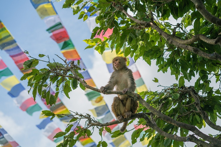 A rhesus macaque in front of Nepalese prayer flags in Kathmandu Nepal - Daniel John Photography