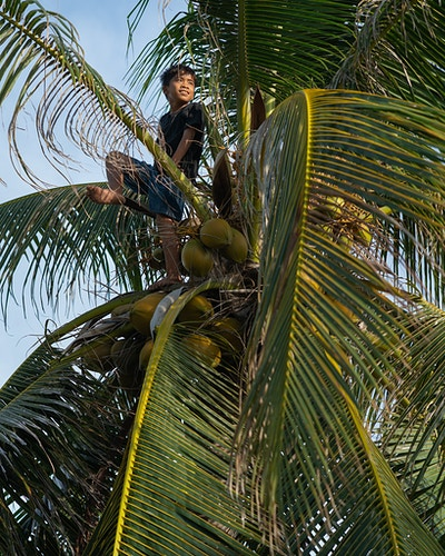 A Filipino boy picking coconuts in a coconut tree in Mindoro, Philippines - Daniel John Photography