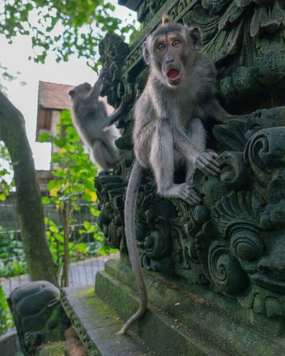 A grey macaque at the sacred monkey forest in Ubud, Bali, Indonesia - Daniel John Photography