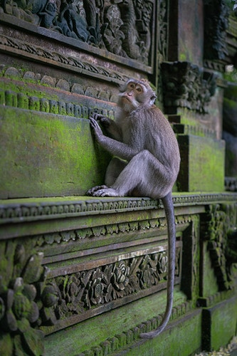 A grey macaque at the sacred monkey temple in Ubud, Bali, Indonesia - Daniel John Photography