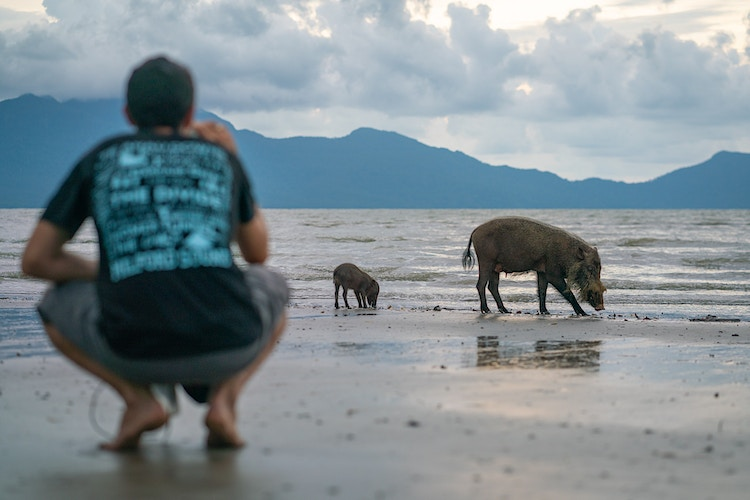 A man photographing two Bornean Bearded Pigs at Bako National Park in Sarawak, Malaysia - found only on Borneo - Daniel John Photography