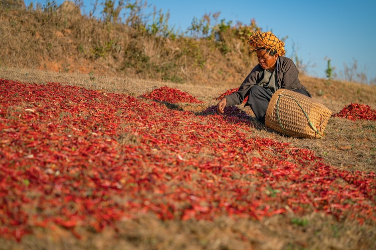 A Pa'O woman sorting peppers in Myanmar - Daniel John Photography