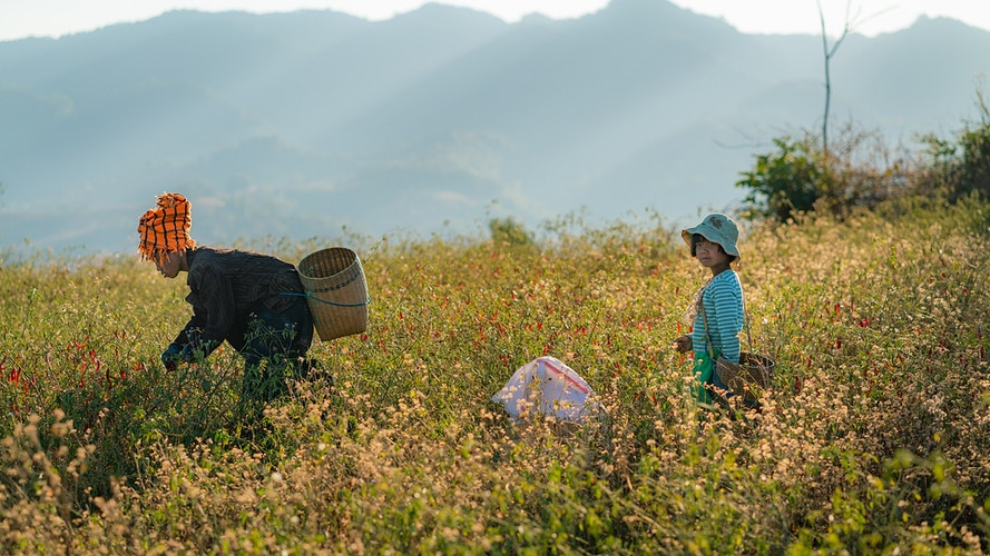 A Pa'O child and her mother picking peppers in a field in Myanmar - Daniel John Photography