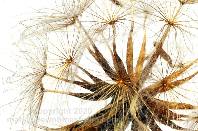 Meadow salsify. Goat's beard. - downtime studio