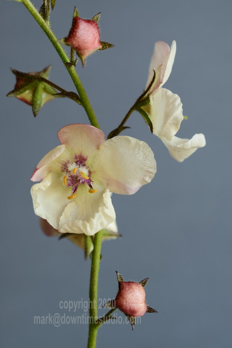 Moth mullein - downtime studio