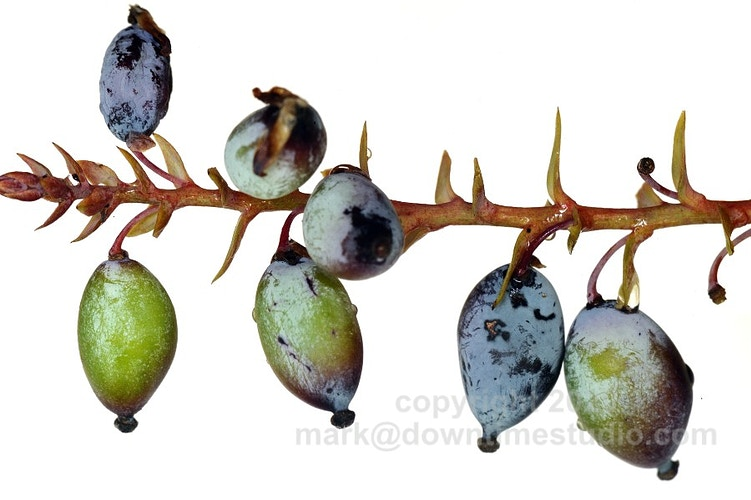 Leatherleaf mahonia - downtime studio
