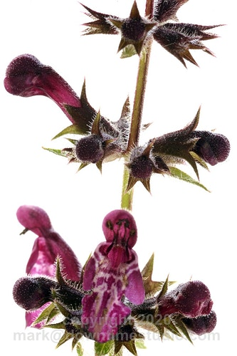 Hedge woundwort - downtime studio
