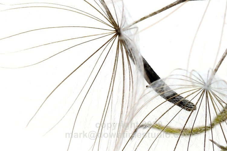Meadow salsify - downtime studio