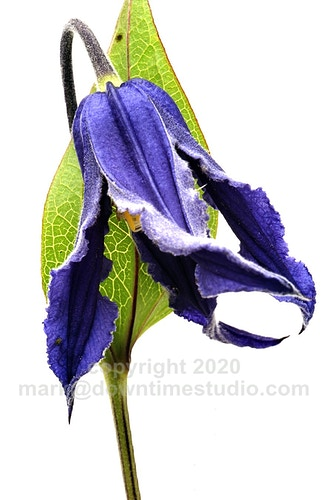 Solitary clematis - downtime studio