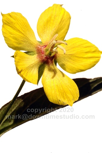 Fringed loosestrife - downtime studio
