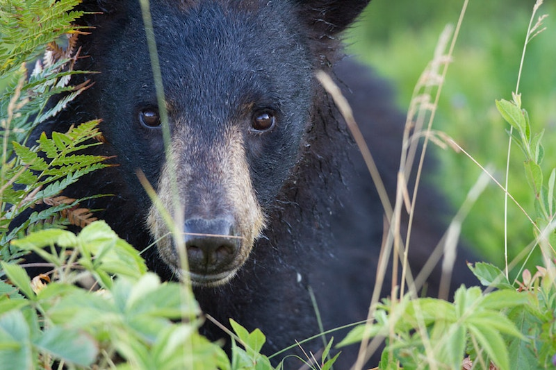 Bears - Eric Coomes Photography