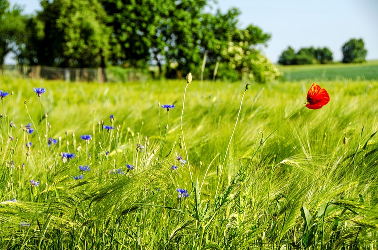 Lonely Red Poppy with Bluets Plants - Elle Lens