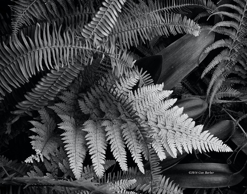 Ferns - Gan Barber Fine Art Photographs