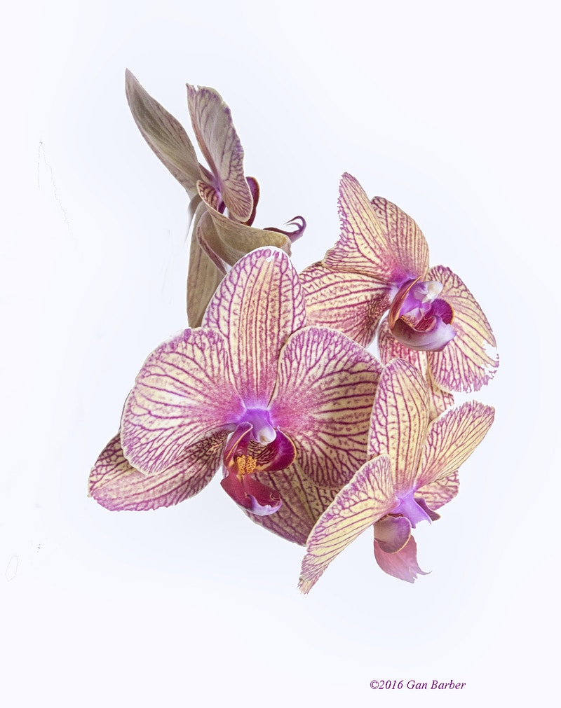 Orchid #1 - Gan Barber Fine Art Photographs