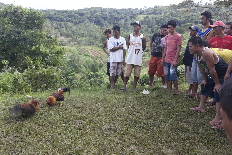 THE STAND OFF, ILLEGAL COCK FIGHT - SIRAO, CEBU - GRAHAM GUY BARRATT