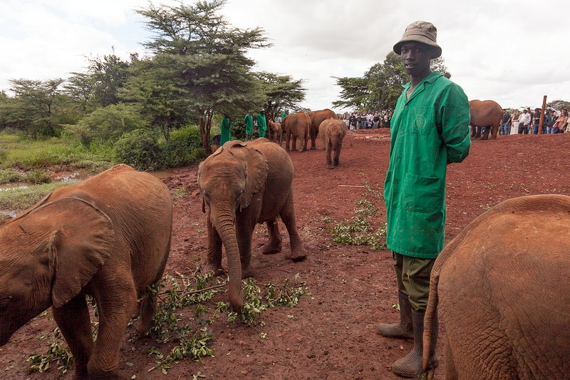 JULIUS AND RESCUED ORPHAN ELEPHANTS AT THE DAVID SHELDRICK WILDLIFE TRUST, NAIROBI - GRAHAM GUY BARRATT