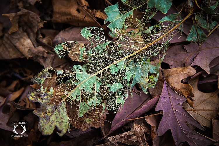 Disintegrating Leaf - HUE FINDER PHOTOGRAPHY