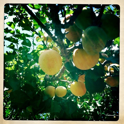 Apricots ready to pick - Jeanine Brandi Photography