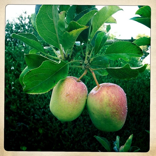 Our apples - Jeanine Brandi Photography