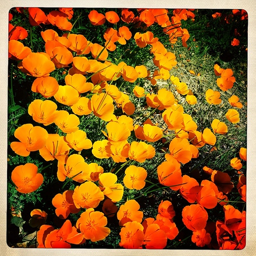 California Poppies - Jeanine Brandi Landscape