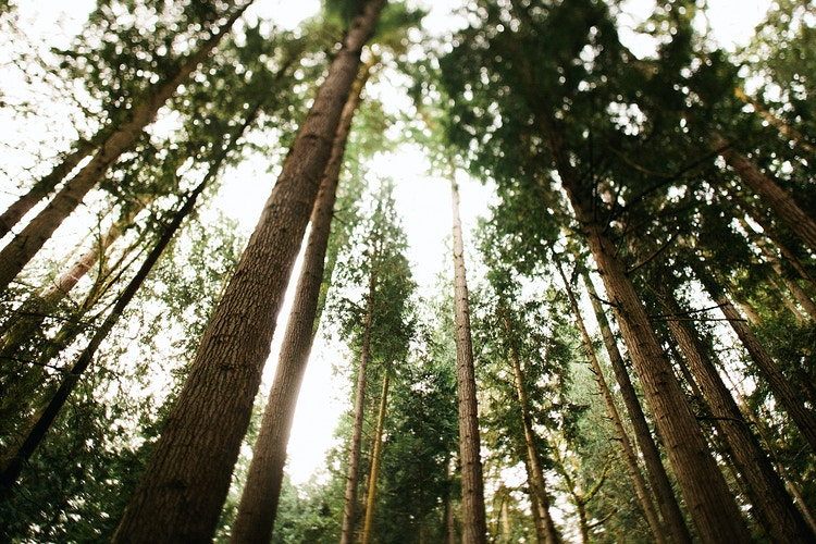 Trees in the Olympic National Forest - Jordan Voth | Seattle Wedding & Portrait Photographer