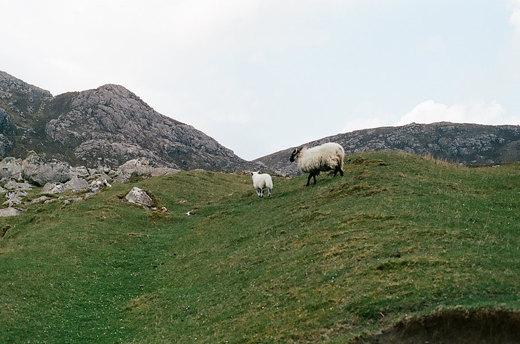 Sheep, Scotland - Karoll Nekonen
