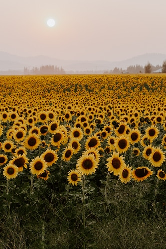 Sunflowers at sunset - Katie Ruther