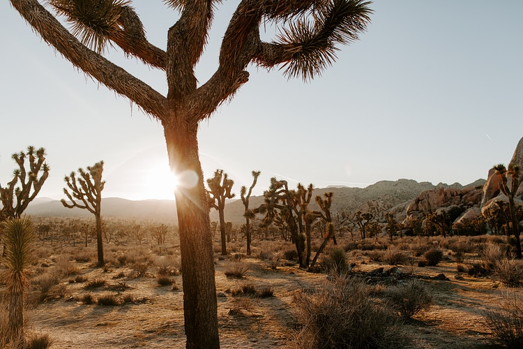 Joshua Tree - Katie Ruther