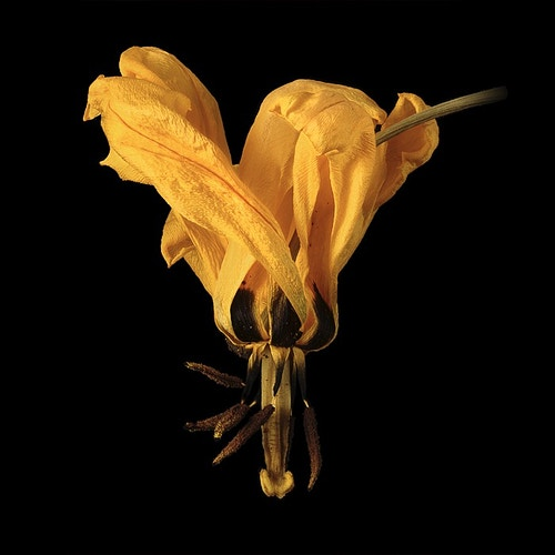 Tulips Dried - Kirk Marshall Photography