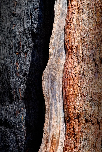 Charred Sequoia, Sequoia NP, CA - Kirk Marshall Photography