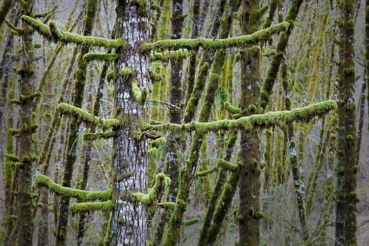 Mossy Branches, Tillamook State Forest, OR - Kirk Marshall Photography