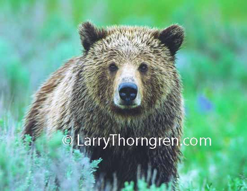 - Larry Thorngren Wildlife Photography