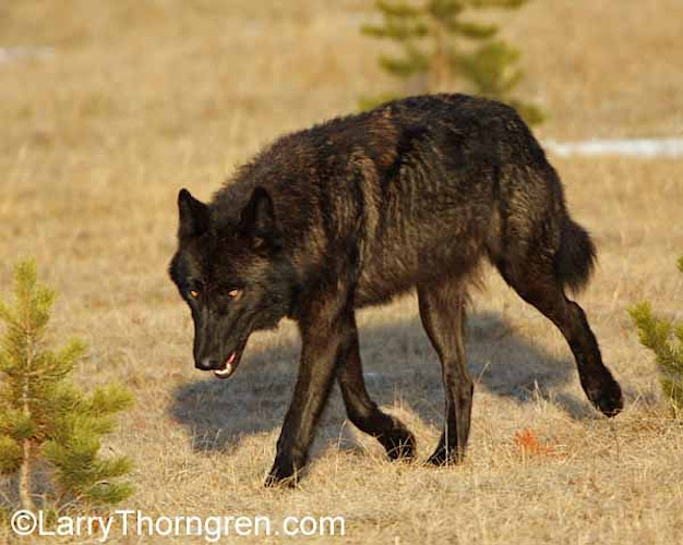 The Mollies Pack - Larry Thorngren Wildlife Photography