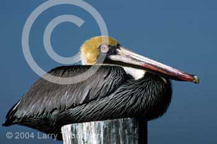 Pelicans And Geese - Larry Thorngren Wildlife Photography