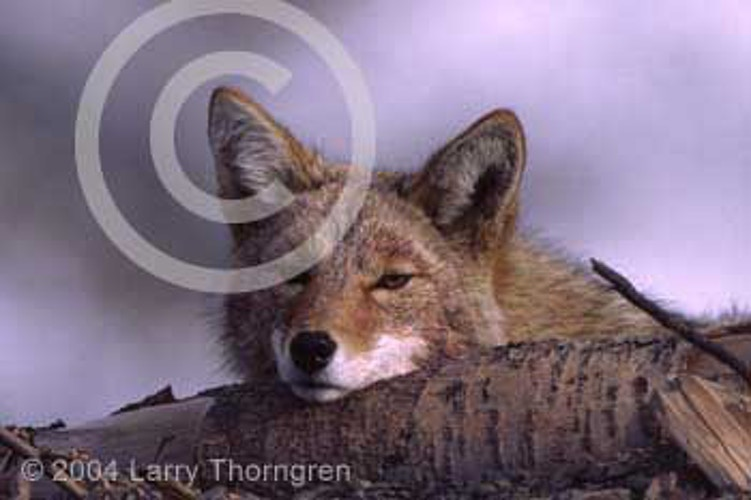 Big Cats And Coyotes - Larry Thorngren Wildlife Photography