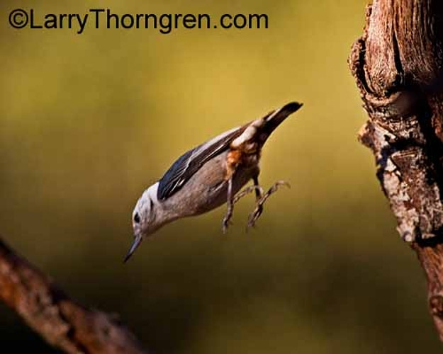 Woodpeckers - Larry Thorngren Wildlife Photography