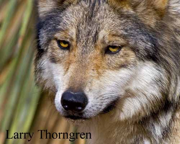 Mexican Wolf - Larry Thorngren Wildlife Photography