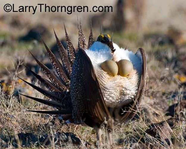 Sage Grouse - Larry Thorngren Wildlife Photography