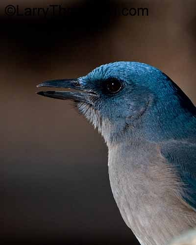 Mexican Jay - Larry Thorngren Wildlife Photography