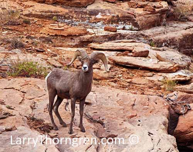 Desert Bighorn Rams - Larry Thorngren Wildlife Photography