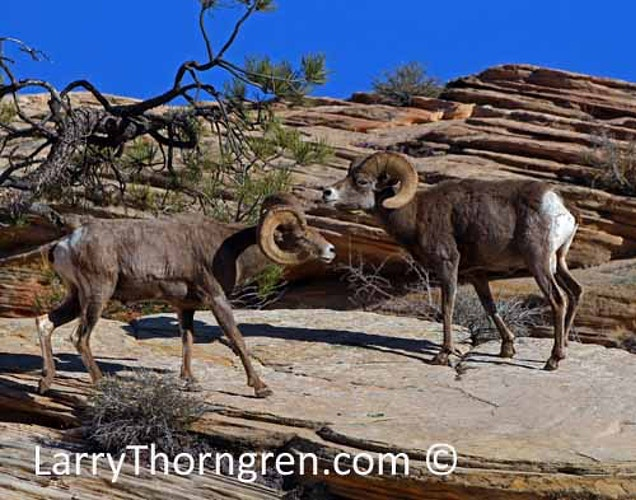 Desert Bighorns Fighting - Larry Thorngren Wildlife Photography