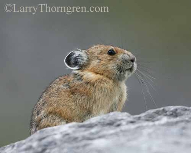 Pika - Larry Thorngren Wildlife Photography