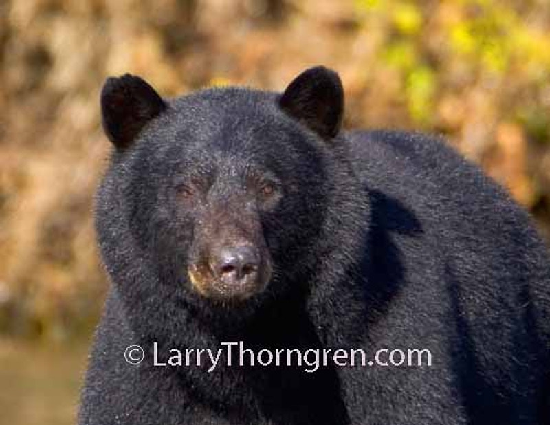 Black Bears - Larry Thorngren Wildlife Photography