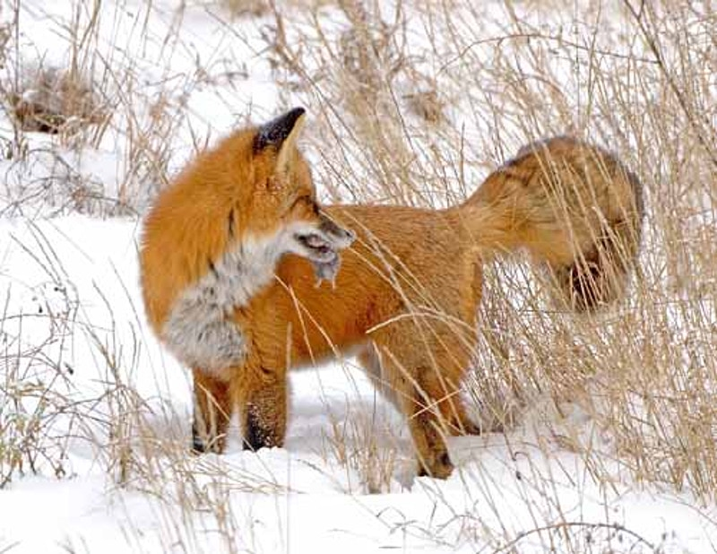Foxes - Larry Thorngren Wildlife Photography