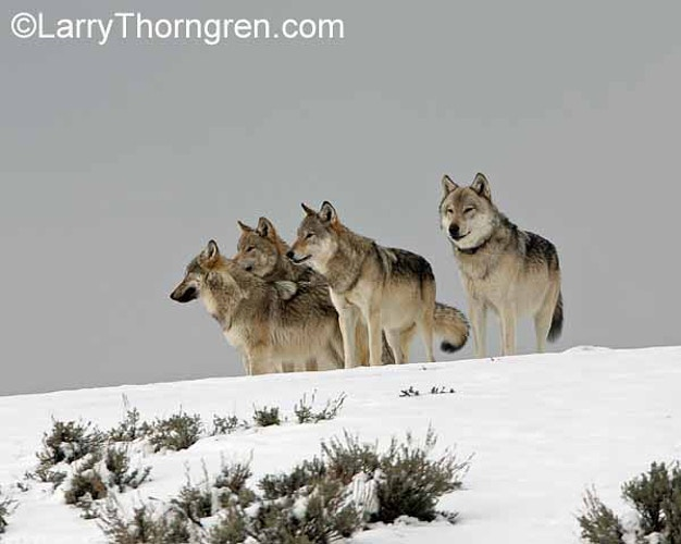 Last Howl Of The Haydens - Larry Thorngren Wildlife Photography