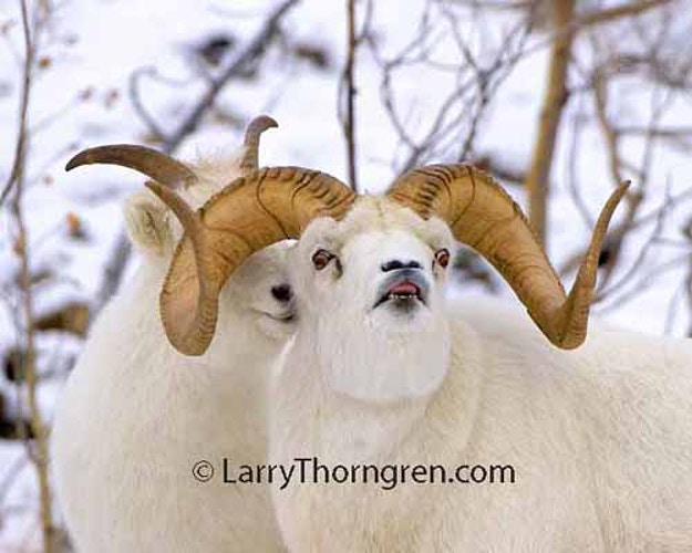 Dall Sheep - Larry Thorngren Wildlife Photography