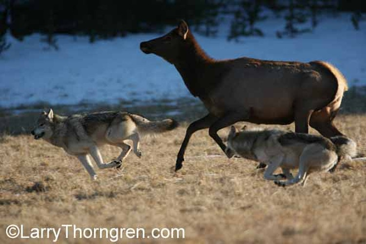 Last Hunt Of The Haydens - Larry Thorngren Wildlife Photography